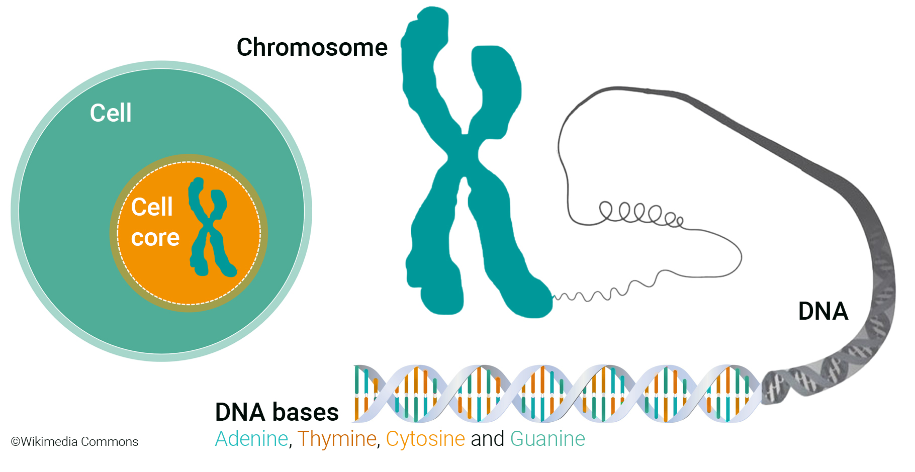 Overview Cell, Chromosome, DNA, bases